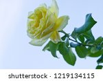 this rose is named rosa... | Shutterstock . vector #1219134115