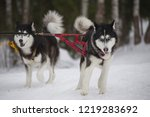 two dogs breed husky in harness ... | Shutterstock . vector #1219283692