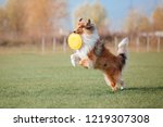 The Rough Collie Dog Catching ...