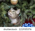Gray Tabby Cat Starring At...