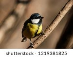 great tit sitting on branch of... | Shutterstock . vector #1219381825