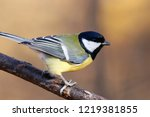 great tit sitting on branch of... | Shutterstock . vector #1219381855