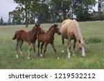 palamino  beige coloured  mare... | Shutterstock . vector #1219532212