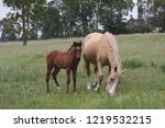 palamino  beige coloured  mare... | Shutterstock . vector #1219532215