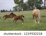 palamino  beige coloured  mare... | Shutterstock . vector #1219532218