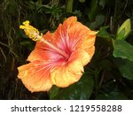 Small photo of Close study of a beautiful orange yellow Hibiscus flower