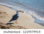 yellow legged gull  larus...   Shutterstock . vector #1219579915