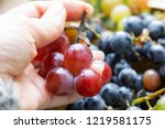 in the hands of ripe pink rural ... | Shutterstock . vector #1219581175