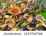 King Bolete Mushroom  Edible...