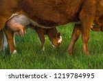 calf in the meadow with mom....   Shutterstock . vector #1219784995