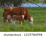 calf in the meadow with mom.... | Shutterstock . vector #1219784998