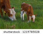 calf in the meadow with mom.... | Shutterstock . vector #1219785028