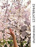 weeping cherry blossoms and...   Shutterstock . vector #1219789642
