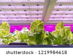 organic hydroponic vegetable... | Shutterstock . vector #1219984618