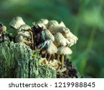 little mushrooms growing on a... | Shutterstock . vector #1219988845