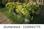 ficus benjamina is also known...   Shutterstock . vector #1220031775