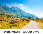 cows grazing in the pastures...   Shutterstock . vector #1220057992