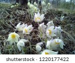 snowdrops the first and most...   Shutterstock . vector #1220177422