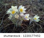 snowdrops the first and most...   Shutterstock . vector #1220177452