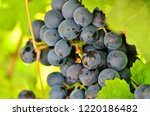 Detail Of Red Wine Grapes...