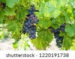 grape harvest time | Shutterstock . vector #1220191738
