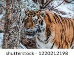 Siberian Tiger Snow Storm - Fine Art prints