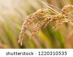 rice is in the field. | Shutterstock . vector #1220310535