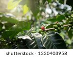 coffee tree with red coffee... | Shutterstock . vector #1220403958