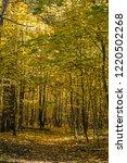 golden fall. norway maple  acer ... | Shutterstock . vector #1220502268
