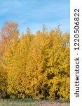 golden fall. common aspen ... | Shutterstock . vector #1220506822