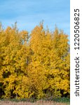 golden fall. common aspen ... | Shutterstock . vector #1220506825