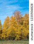 golden fall. common aspen ... | Shutterstock . vector #1220506828