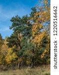 golden fall. scots pine  pinus... | Shutterstock . vector #1220516662