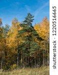 golden fall. scots pine  pinus... | Shutterstock . vector #1220516665