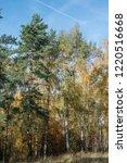 golden fall. scots pine  pinus... | Shutterstock . vector #1220516668