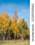 golden fall. silver birch ... | Shutterstock . vector #1220520562