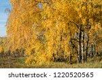 golden fall. silver birch ... | Shutterstock . vector #1220520565