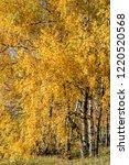 golden fall. silver birch ... | Shutterstock . vector #1220520568