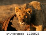 young african lion  panthera... | Shutterstock . vector #1220528