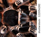 Small photo of tarantula acanthoscurria geniculata in natural environment