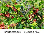 coffee tree with ripe | Shutterstock . vector #122065762