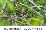nightingale singing through the ... | Shutterstock . vector #1220774695