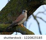 common kestrel  falco... | Shutterstock . vector #1220825185