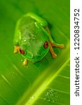 red eyed tree frog from costa... | Shutterstock . vector #1220834752