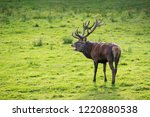 red deer in rut | Shutterstock . vector #1220880538