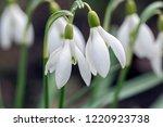 bunch of galanthus nivalis ... | Shutterstock . vector #1220923738