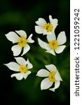 narcissus anemone  anemone...   Shutterstock . vector #1221059242
