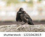 raven grooming another raven ... | Shutterstock . vector #1221062815