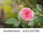 roses in the garden  roses are... | Shutterstock . vector #1221122782