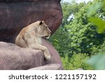 Lioness Lying On Rock And On...